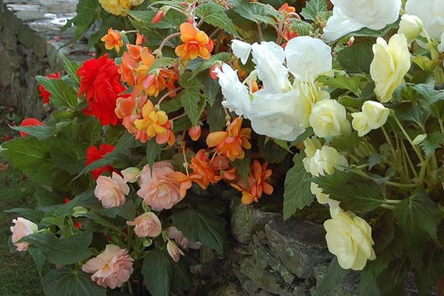 Members enjoy special visit to white flower farm the garden tuberous begonias at white flower farm mightylinksfo Choice Image