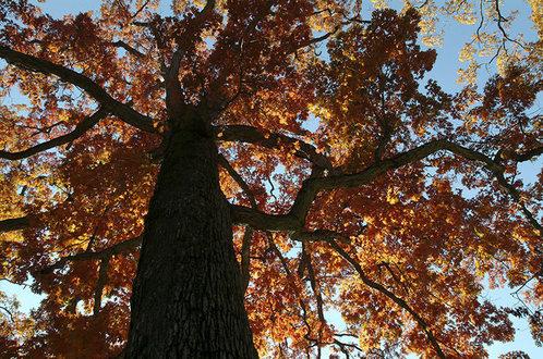 White oak sky