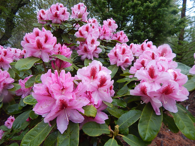Digging Deeper: Rhododendron Love—Creating Your Own Hybrids