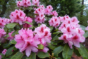 Digging Deeper: Rhododendron Love—Creating Your Own Hybrids - CANCELED
