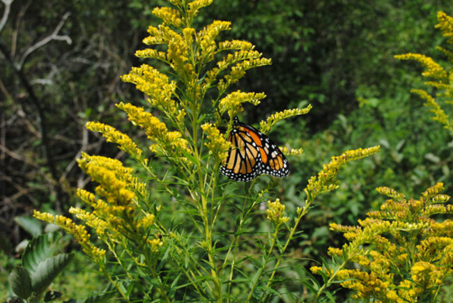 Digging Deeper: Monarchs in Your Garden
