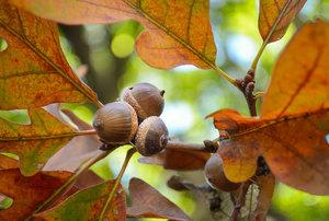 Virtual Program: The Nature of Oaks